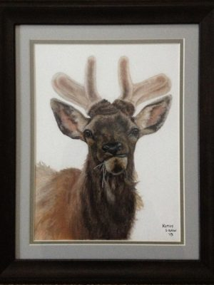 Funny young bull elk